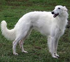 best in show winning silken windhound