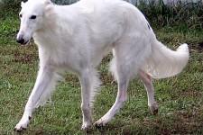 silken windhound Deuce - top UKC silken windhound